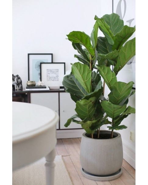 Fiddle fig - Ficus Lyrata ( Pre Order Only )