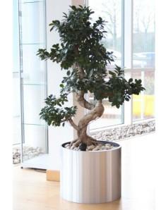 Ficus in 40 CM Steel Pot - Pre Order Only