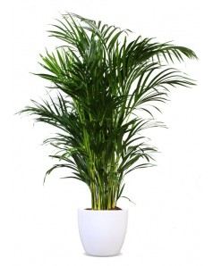 Areca Palm 100 to 110 CM in 30 CM Fiber Pot