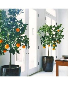 Indoor Orange - Pre Order Only