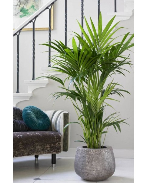 Kentia Potted In Similar Pot . 100 CM Height