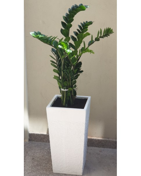Zamioculcus in Premium Pot - (Zee-Zee Plant) - 1 to 1.2 Mtr Height