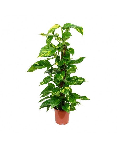Epipremnum moss stick (Money Plant) Vertical 80 CM Ht