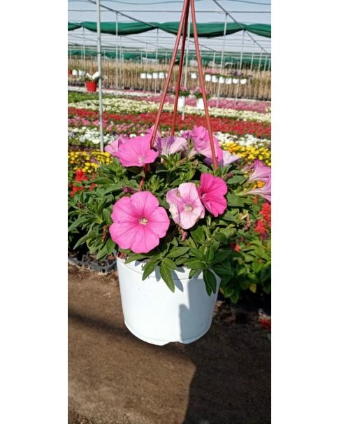 Petunia in hanging pot
