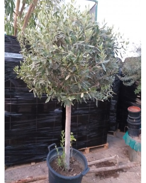 Olive Tree 1.5 M Total Height