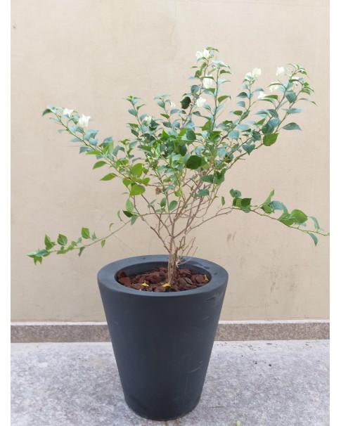 Bougainvillea White in Big Planter -140 CM Total Ht