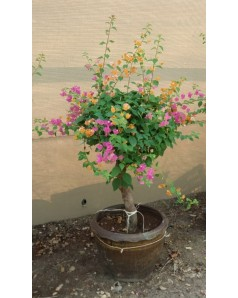 Bougainvillea Small Umbrella