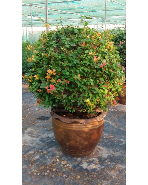 Bougainvillea Ball Shape