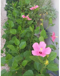 Hibiscus Pink 100 CM Total Ht