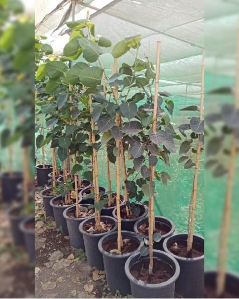 Ficus religiosa (peepal tree)