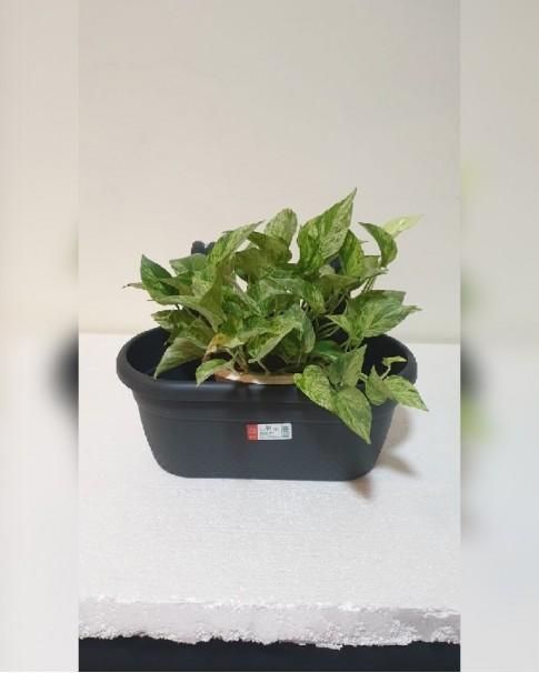 Money plant in Oval Plastic Pot
