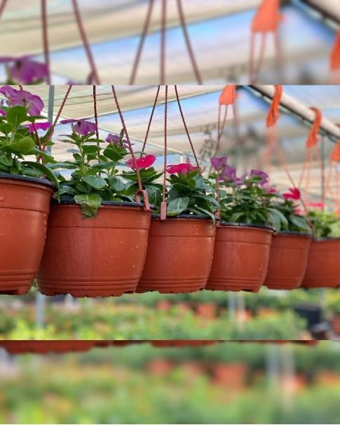 Vinca rosea hanging