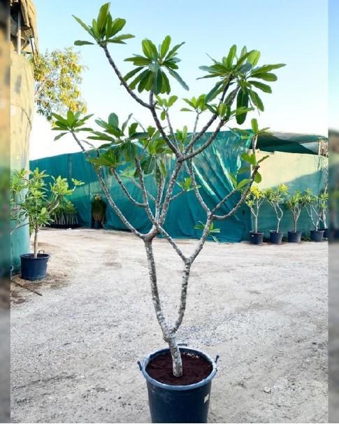 Plumeria white ( frangipani)