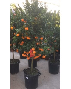 Orange Tree 180 CM Height