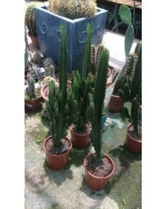 Cactus 50cm