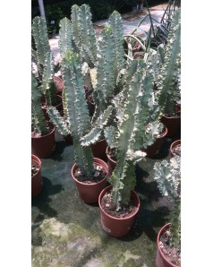 Cactus 70-80cm