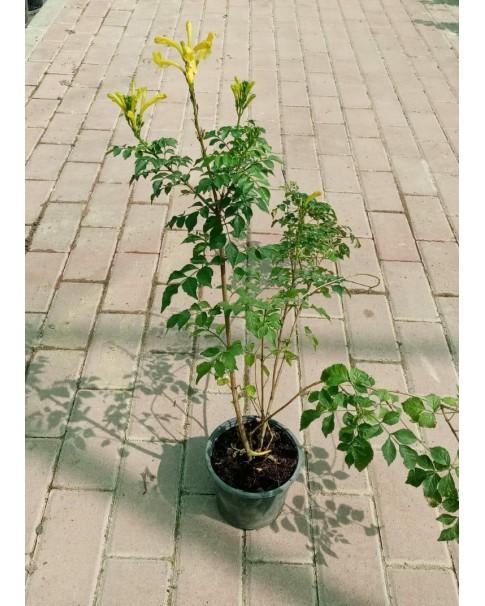 Tecomaria capensis yellow