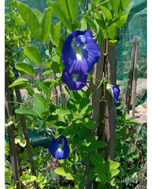 Bluebell Vine