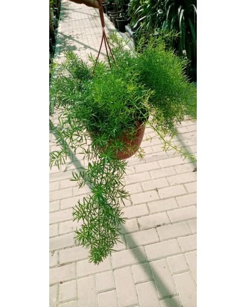 Asparagus hanging