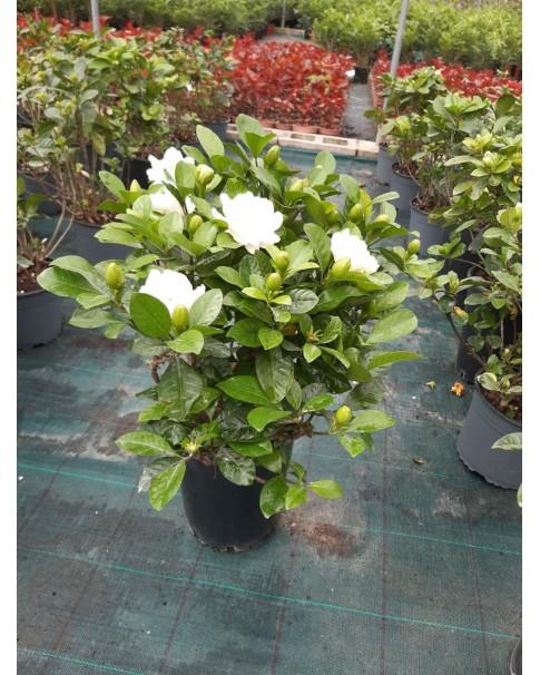 Gardenia 30 cm