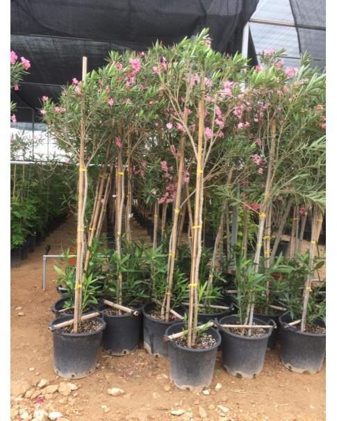 Oleander 200cm height