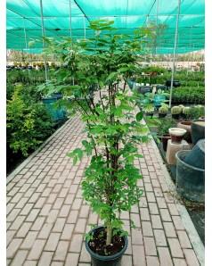 Wrightia religiosa ( Water Jasmine )  1.5 Mtr Ht