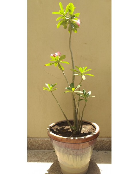 Adenium Plant in Pot 80 - 90 Cm Total Height. ( Assorted Pots )