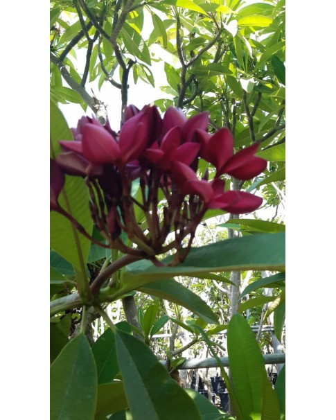 Plumeria- Red. 1.8 to 2 Mtr Ht