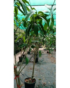 Mango tree with mango