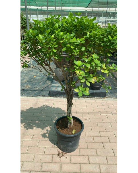 Ficus tweeted trunk