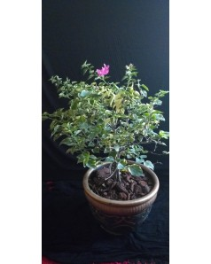 Bougainvillea Pink Rainbow 50 - 60 CM TH in Terracotta Pot