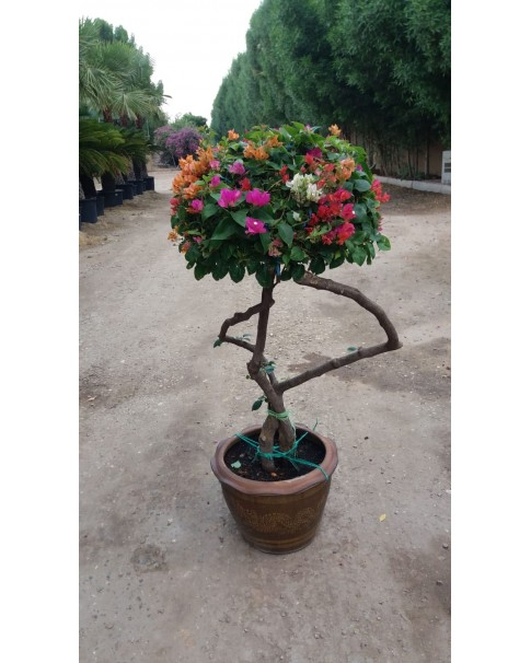 Bougainvillea Hybrid Color 1.5 M Height