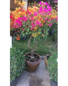 Bougainvillea 3 colour