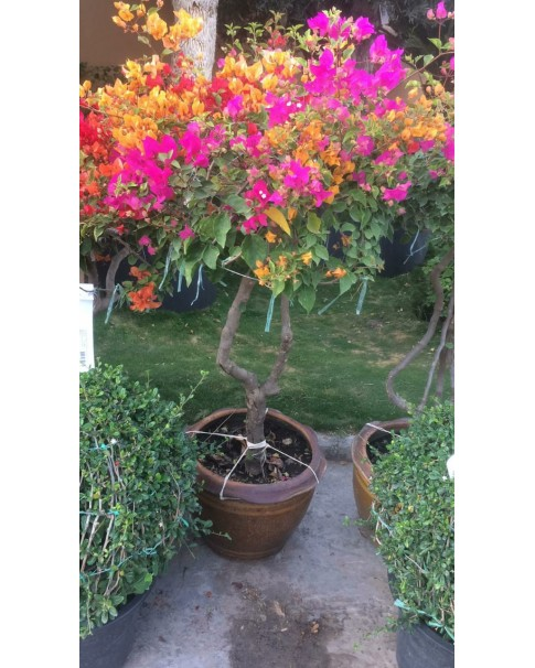 Bougainvillea 3 colour