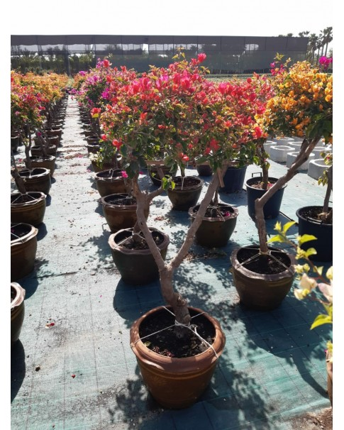 Bougainvillea 3 mix colour