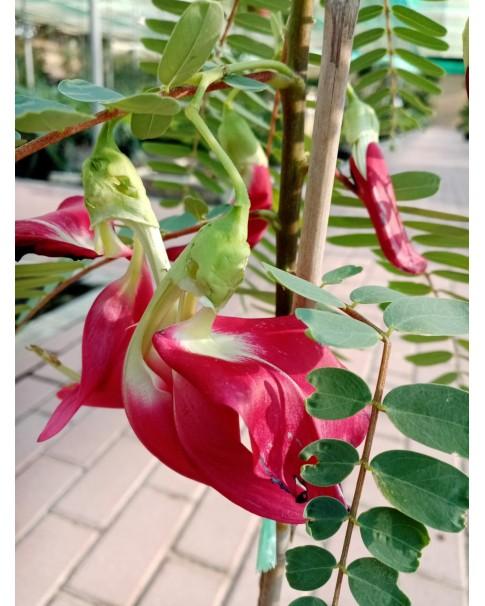 Sesbania Grandiflora - Humming Bird Tree - 80 CM Height