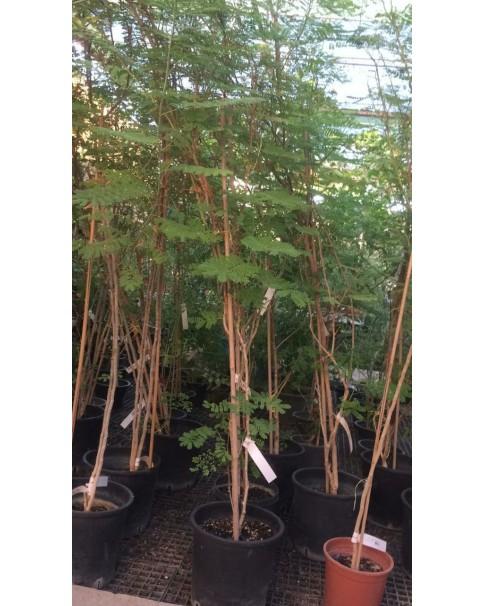 Caesalpinia 2 m heigh