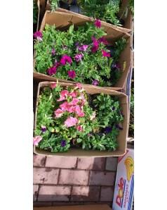 Petunia - Multi Colors