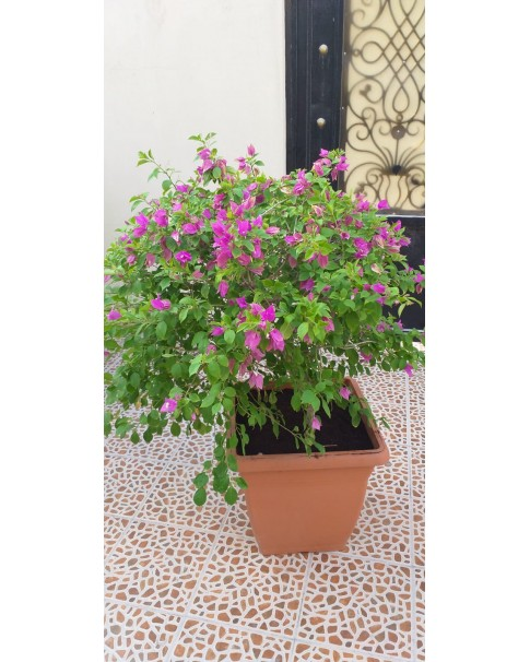 Bougainvillea in 50 * 40 Square Pot