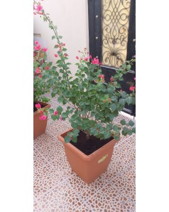 BOUGAINVILLEA RED IN 50 * 40 SQUARE POT