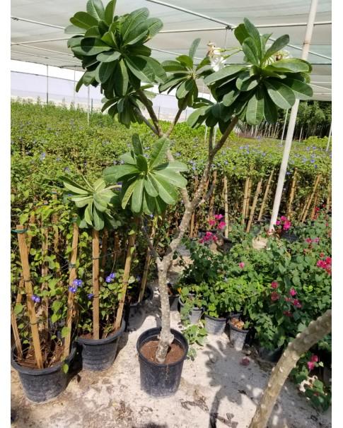 Plumeria White (Frangipani). 1.8 Mtr Ht