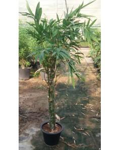 Bamboo Ventricosa