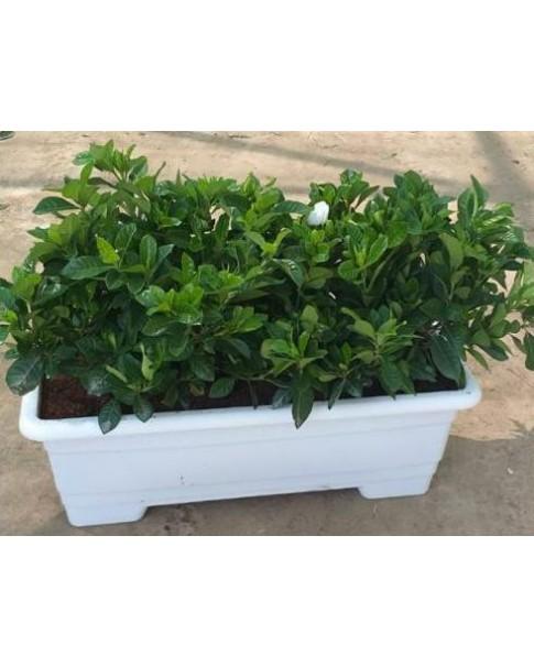 Gardenia - 3 Nos in Rectangle Pot