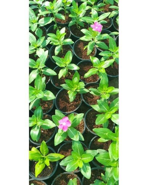 Vinca rosea - Mixed Colour Box  - Min Qty : 25 Pcs
