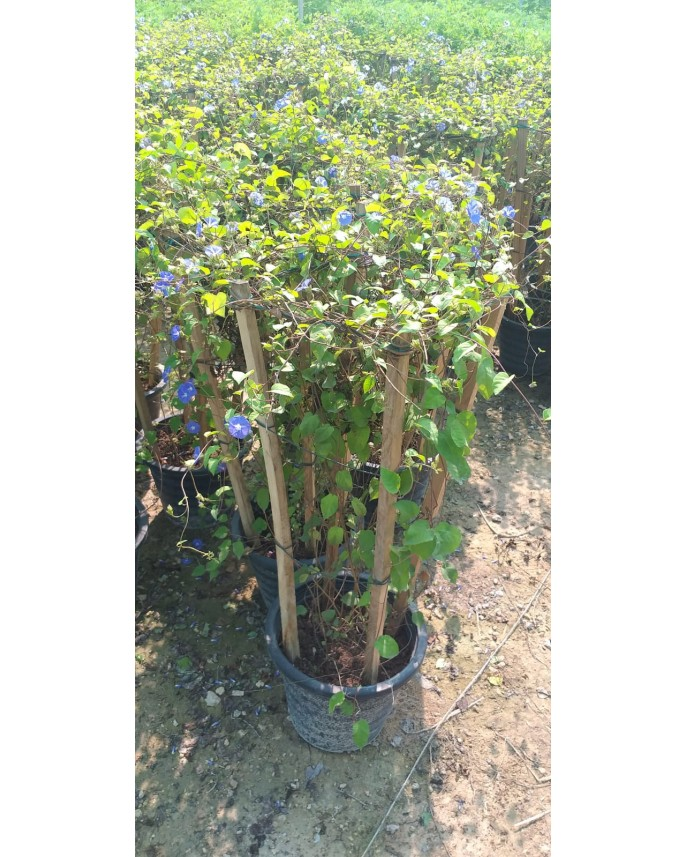 Ipomoea Morning Glory Plant Online Largest Flowering