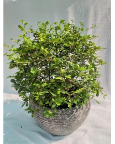 Ehretia in Pot