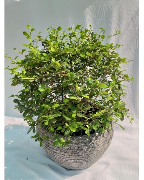 Ehretia in Pot