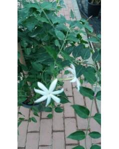 Jasminum nitidum - 4 stick