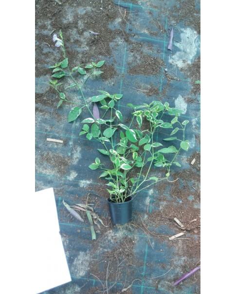 Asystasia gangetica mini