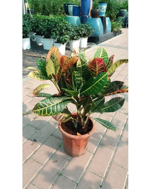 Kroton Plant